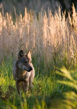 Germany's wild wolves